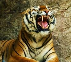 В китайском заповеднике тигр разорвал женщину поссорившуюся с мужем