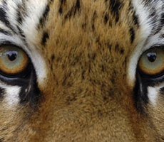 Во Владивостоке ищут тигра разгуливающего по городу